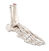 3B Scientific Foot and Ankle Skeleton A31