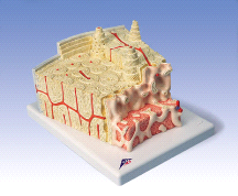 3B Anatomical Bone Structure Model A79